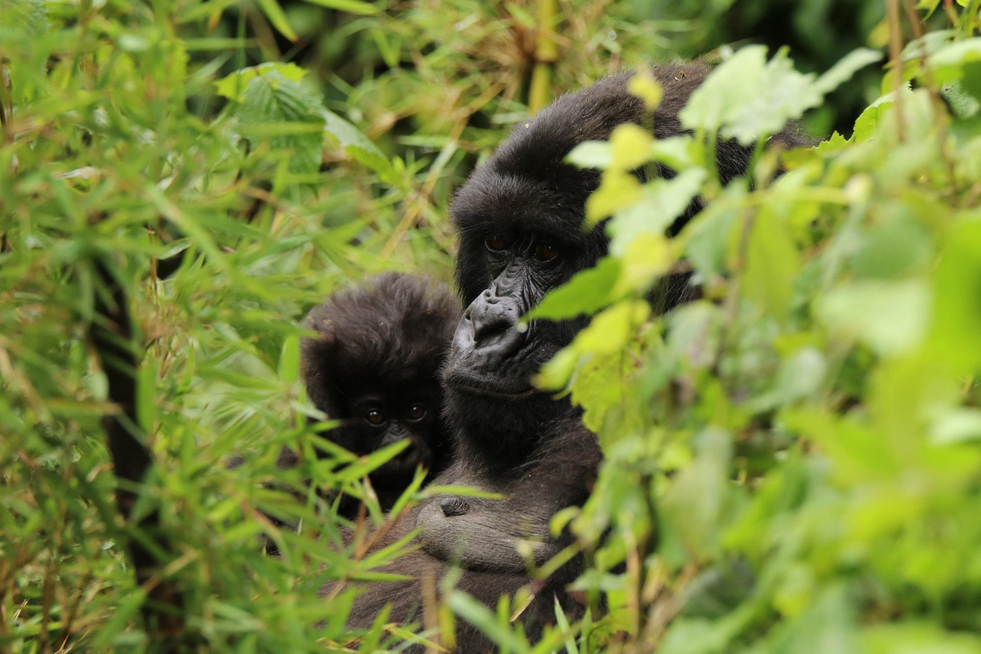 Gorilla und Gorillakind